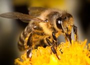 Ilustrácia - Včela medonosná
