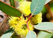 Ilustrácia - Eukalyptus