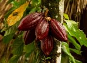Ilustrácia - Kakaovník obyčajný