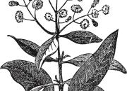 Ilustrácia - Pimentovník lekársky (Piment – nové korenie)