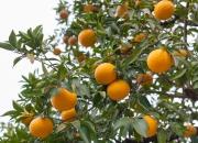 Ilustrácia - Pomaranče