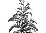 Ilustrácia - Strychnínovník indický
